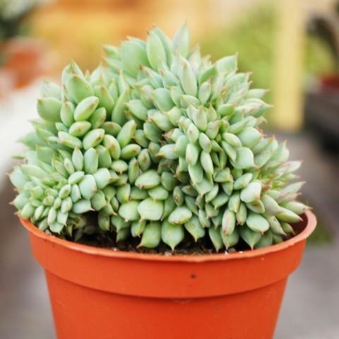 Echeveria 'Ramillette' form. cristata