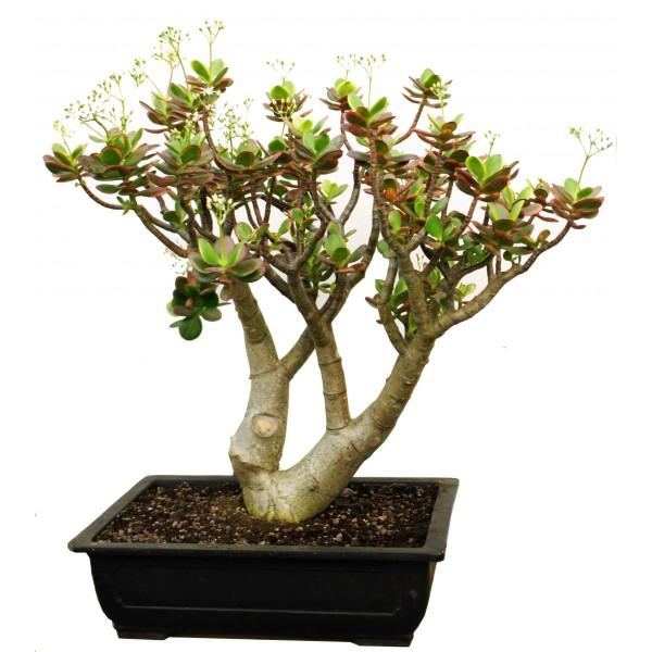 Fabuleux L' arbre de Jade - Arrée Succulentes FC81