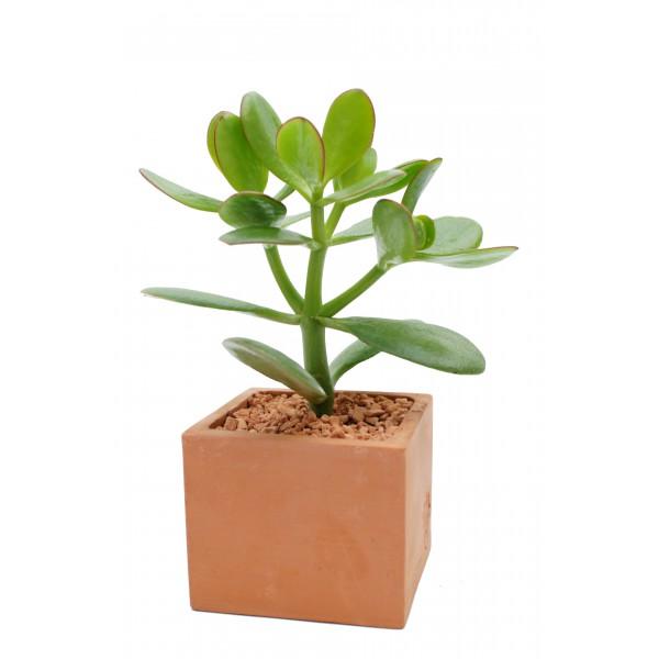 l 39 arbre de jade arr e succulentes. Black Bedroom Furniture Sets. Home Design Ideas