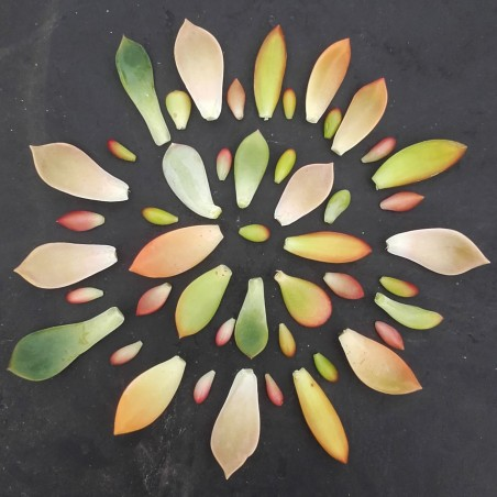 Boutures de feuilles
