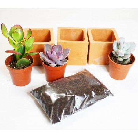 Les trois Mini succulentes