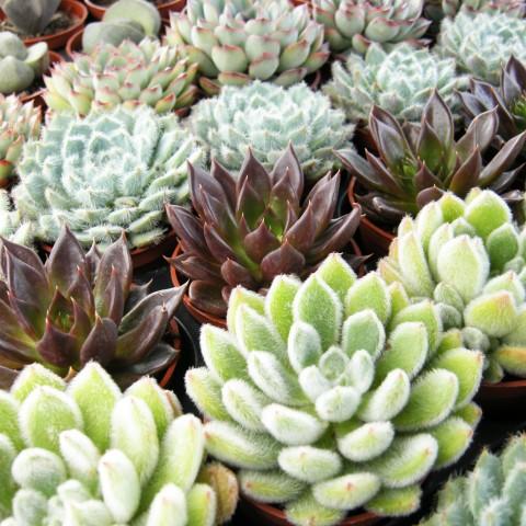 Mini plantes grasses***