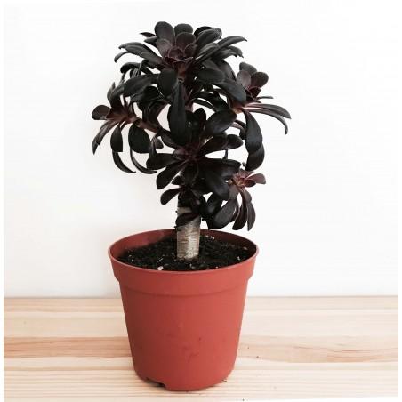 Aeonium arboreum 'Schwartzkopf' - Ramifié