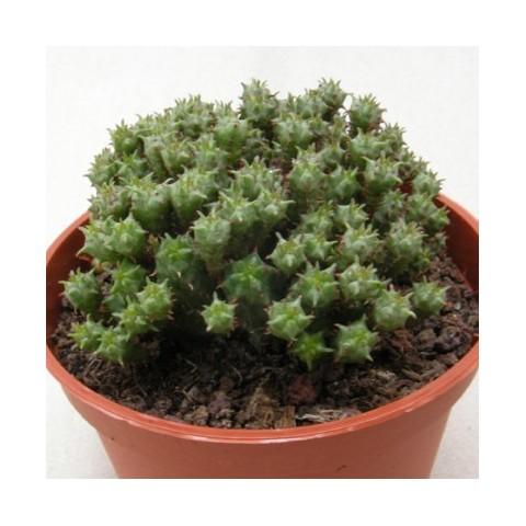 Euphorbia mamilaris 'Nanum'