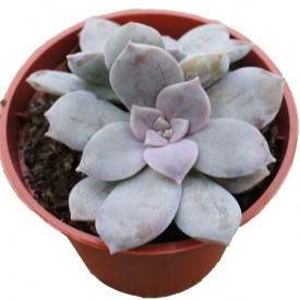 Graptopetalum pentandrum ssp. Superbum