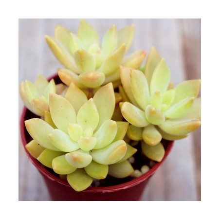 Graptosedum 'Cesar'