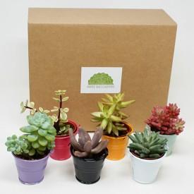 Coffret cadeau 6 mini succulentes - Zinc naturel