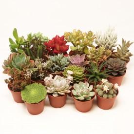 Collections métissées - Pot de 5,5cm