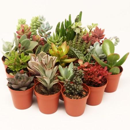 Collections métissées - Pot de 8cm