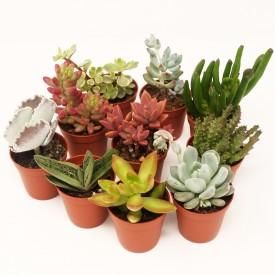 Collections métissées - Pot de 8cm Lot -3 plantes