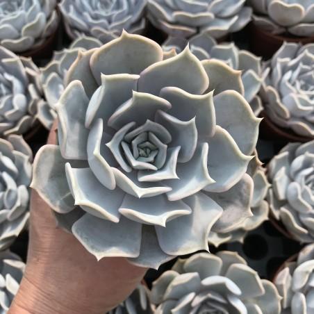 Echeveria lilacina - Pot de 8cm