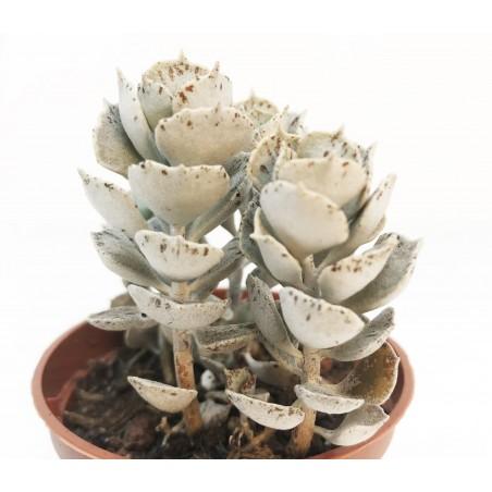 Kalanchoe rhombopilosa - en1