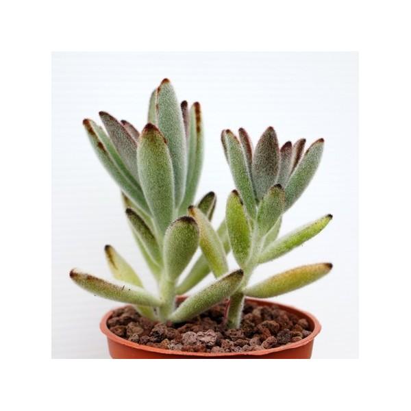 kalanchoe tomentosa ssp arr e succulentes. Black Bedroom Furniture Sets. Home Design Ideas