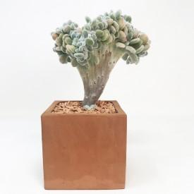 Echeveria pulvinata 'Fosty' form. cristata - en3