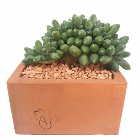 Pachyphytum compact 'Viride' form. cristata - en1