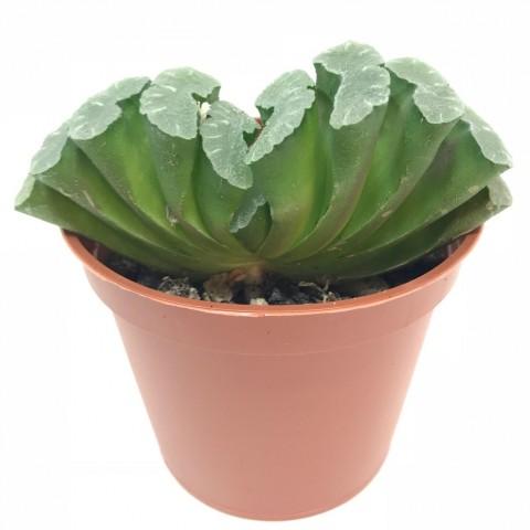 Haworthia truncata - en1