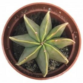 Astrophytum myriostigma v. nudum - en1