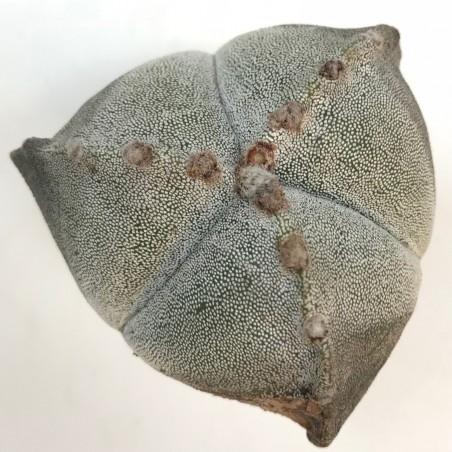 Astrophytum myriostigma - en1