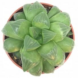 Haworthia turgida - en1