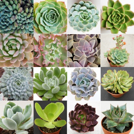 Collection d'Echeveria - Pot de 8cm