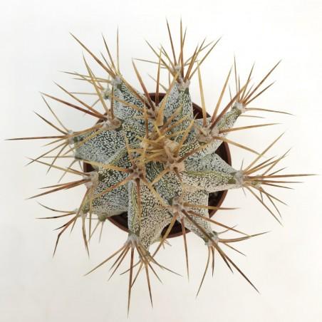Astrophytum ornatum - En1