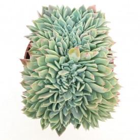 Echeveria secunda var. pumila form. cristata - En1