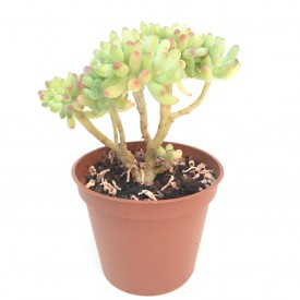 Sedum pachyphyllum form. cristata - Pot de 8cm