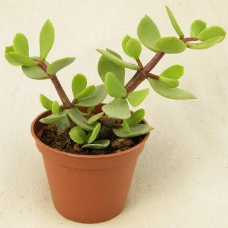 Portulacaria afra var. macrophylla