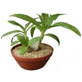 Scilla pauciflora
