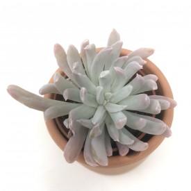 Pachyveria 'Albocarinata'