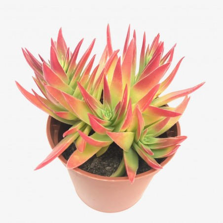 Crassula capitula ssp. 'Thyrsiflora' - Giant form