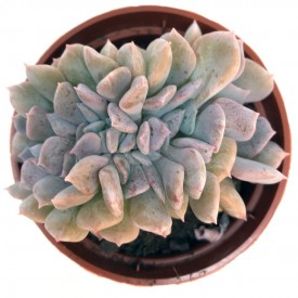 Echeveria 'Cubic Frost' cristata