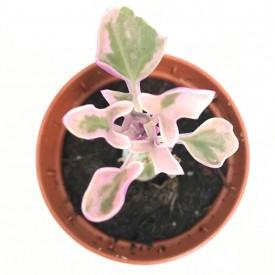 Senecio articulatus 'variegata'