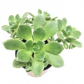 Aeonium haworthii