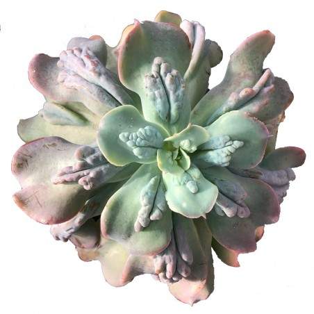 Echeveria gibbiflora var. Carunculata - pot de 10,5 cm