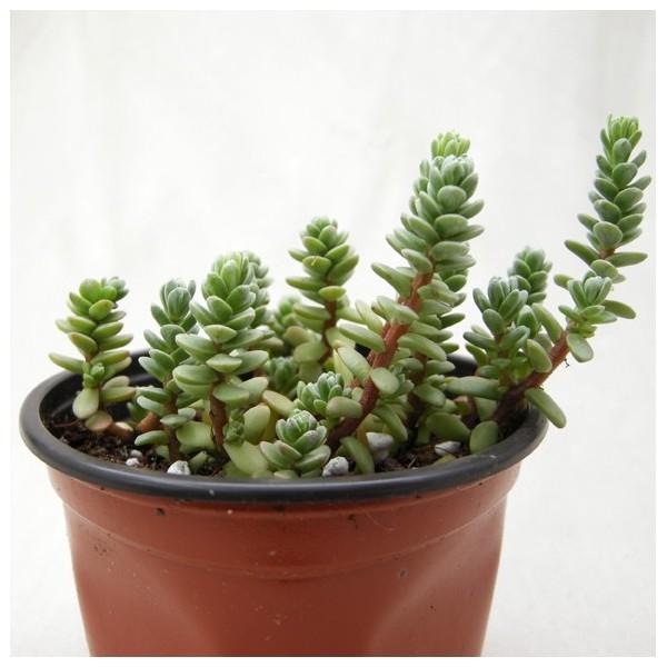 Sedum oaxacanum arr e succulentes for Plante exotique exterieur rustique