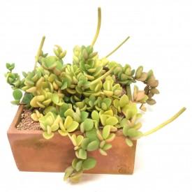 Peperomia rotundifolia
