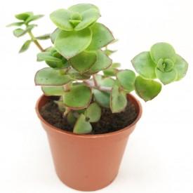 Crassula pellucida ssp. marginalis