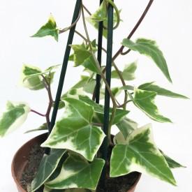 Senecio macroglossus 'Variegata'