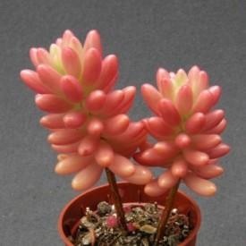 Sedum rubrotinctum 'Aurora'