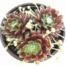 Sempervivum arachnoideum 'Zarrubianum'