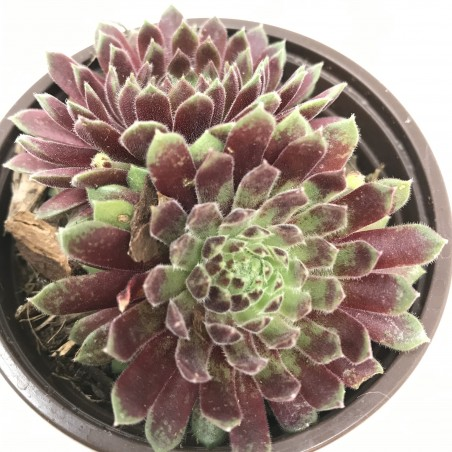 Sempervivum 'Pax'