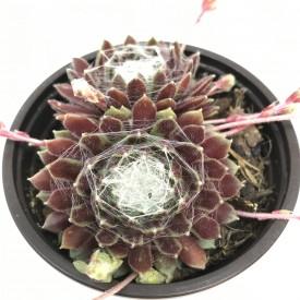 Sempervivum calcareum 'Tender Haid'