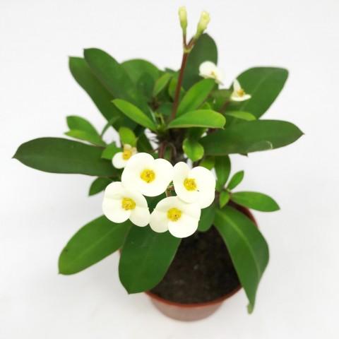 Euphorbia milii ssp. form. blanche