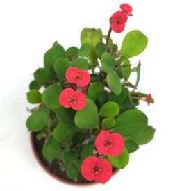 Euphorbia milii ssp. form. rouge