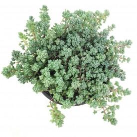 Sedum dasyphyllum 'Lilac Mound'