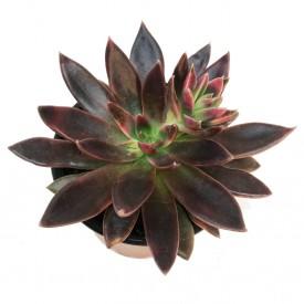 Echeveria 'Serrana'
