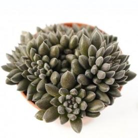 Sinocrassula yunannensis