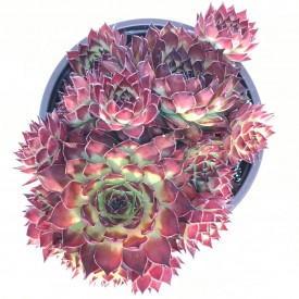 Sempervivum 'Disco Dancer'
