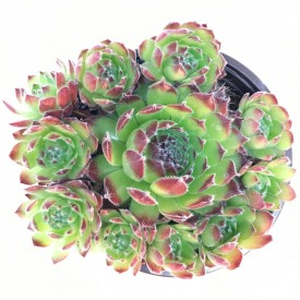 Sempervivum 'Hester'